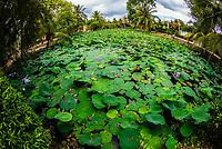 Lily pads, Buddhist temple at Long Hung, Chau Thanh, Mekong Delta, Vietnam.