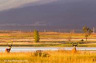 Whitetail deer bucks in velvet antlers at Ninepipe WMA near Ronan, Montana, USA