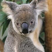 Koala (Phascolarctos cinereus) in Australia. Captive Animal