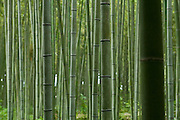 Bamboo forest on the outskirts of Kyoto.