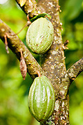 """Apr 23 - BALI, INDONESIA -  Cocoa growing in a tree in Bali. The cocoa """"bean"""" is actually inside the pod. Photo by Jack Kurtz/ZUMA Press"""