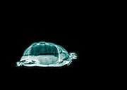 Spur-thighed Tortoise or Greek Tortoise (Testudo graeca) under x-ray Side view