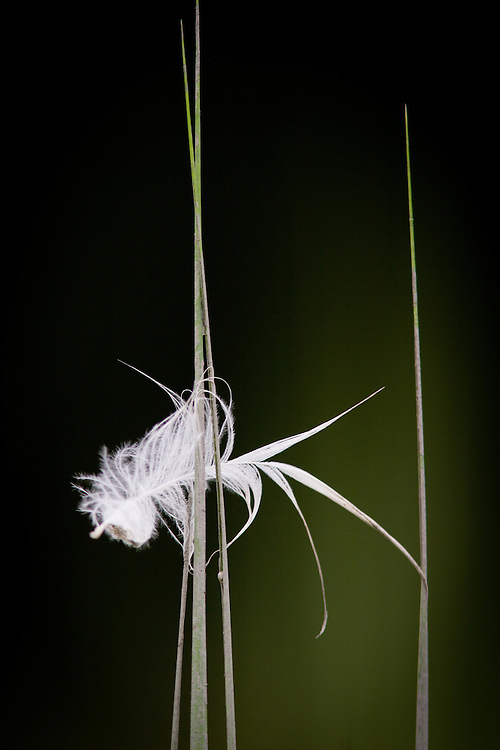 Egret feather flutters on a piece of grass high up in Eagle Marsh.