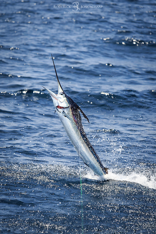 White Marlin catches sunlight as he tailwalks accross the surface offshore Lobito, Angola