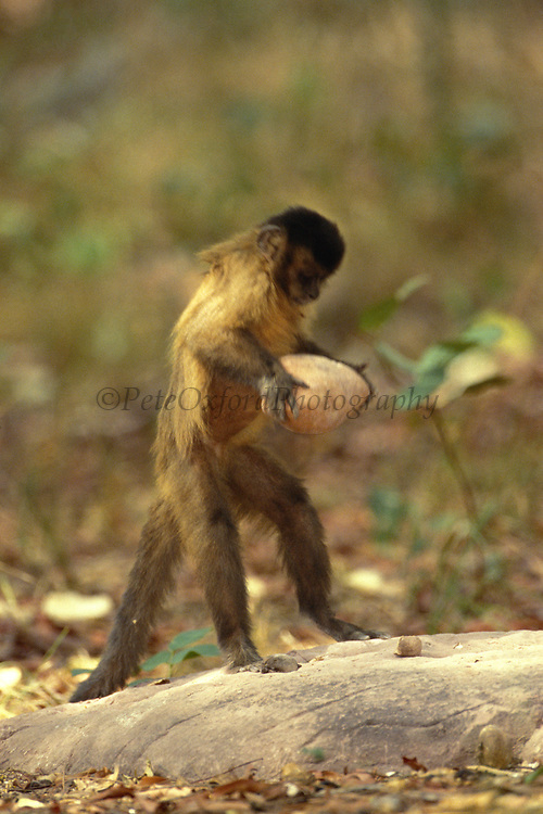 Brown Capuchin Monkey 'tool Using'<br />Cebus apella<br />Cerrado Habitat, Piaui State.  BRAZIL.  South America<br />'These monkeys return regularly to these anvils and use rocks to crack open palm nuts