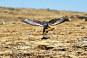 Africa, Ethiopia, Bale mountains, Augur buzzard (Buteo rufofuscus augur)