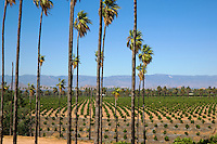 An orange grove within the California Citrus State Historical Park in Riverside California.