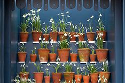 Snowdrops in terracotta pots displayed in the snowdrop theatre at Hanham Court