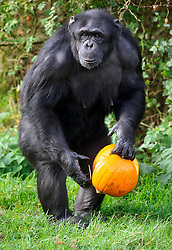 © Licensed to London News Pictures. 29/10/2013 Dunstable, UK. A chimpanzee holds a Halloween pumpkin at Whipsnade Zoo, Dunstable. The animals are given the spooky treats as part of their dietary enrichment programme.<br /> Photo credit : Simon Jacobs/LNP