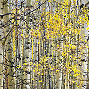 Aspen trees speckled with showy autumn leaves.