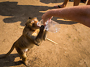 30 NOVEMBER 2014 - LOPBURI, LOPBURI, THAILAND: A tourist gives water to a long tailed macaque monkey at Phra Prang Sam Yot in Lopburi. Lopburi is the capital of Lopburi province and is about 180 kilometers from Bangkok. Lopburi is home to thousands of Long Tailed Macaque monkeys. A regular sized adult is 38 to 55cm long and its tail is typically 40 to 65cm. Male macaques weigh around 5 to 9 kilos, females weigh approximately 3 to 6 kg. The Monkey Buffet was started in the 1980s by a local business man who owned a hotel and wanted to attract visitors to the provincial town. The annual event draws thousands of tourists to the town.    PHOTO BY JACK KURTZ