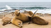 a group of Sea Lions basking in the sun on the rocks at La Jolla Cove, La Jolla, San Diego, California, USA