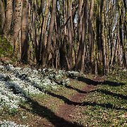 Snowdrops and shadows, Shore Wood, Eggerness Point, Dumfries and Galloway, Scotland.