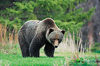 Big grizzly bear, Canadian Rockies