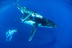 Humpback Whales, Megaptera novaeangliae. In this case a mother and calf surface to breathe as an adult male, serving as escort, descends.  When the calf is several months old it will follow its mother away from the warm, sheltered waters of the tropics and swim thousands of miles to summer feeding grounds in the Southern Ocean. Tonga; Pacific Ocean