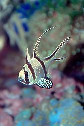 Banggai cardinal fish (c), Pterapogon kauderni, found only around Banggai Island off Sulawesi, Indonesia, severely threatened by aquarium trades, Indo-Pacific Ocean