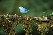 Blue-gray tanager (Thraupis episcopus)<br /> Western slopes of Andes<br /> Andes<br /> ECUADOR, South America<br /> Habitat & Range: Open woodland from Mexico to Bolivia & n. Brazil