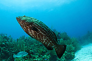 Black Grouper (Mycteroperca bonaci)<br /> Hol Chan Marine Reserve<br /> near Ambergris Caye and Caye Caulker<br /> Belize Barrier Reef, second largest barrier reef in the world<br /> Belize<br /> Central America