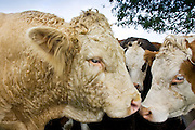 Bull nuzzles up to cows, Hazleton, Gloucestershire, The Cotswolds, England, United Kingdom