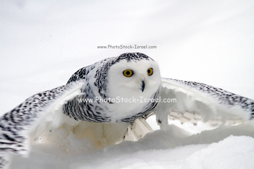 Female  Snowy Owl (Bubo scandiacus). Unlike many other owls, the snowy owl is diurnal, hunting during the day Photographed in the Arctic region, Finland