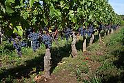 Merlot grapes at Chateau Beau-Sejour Becot, St Emilion in the Bordeaux wine region of France