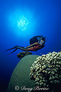 scuba diver examines coral,<br /> St. Kitts, ( Eastern Caribbean Sea )   MR 95
