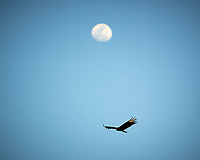 Turkey Vulture soaring under the Moon in Big Cypress Swamp. Image taken with a Nikon D3s camera and 70-200 mm f2.8 lens (ISO 200, 200 mm, f/2.8, 1/3200 sec).