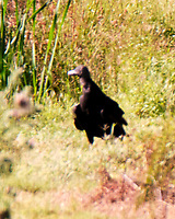 Black Vulture. Image taken with a Fuji X-T4 camera and 100-400 mm OIS lens.