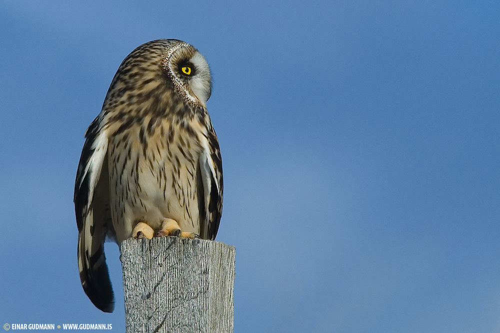 """The Short-eared Owl (Asio flammeus) is a species of typical owl (family Strigidae). Owls belonging to genus Asio are known as the eared owls, as they have tufts of feathers resembling mammalian ears. These """"ear"""" tufts may or may not be visible."""