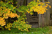 Turning sugar maple leaves framing a weathered barn door in Walden, VT.