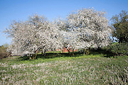 May blossom on blackthorn tree