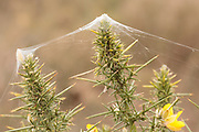 Silk rigging constructed by purse web spiderlings (Atypus affinis) on heathland. Surrey, UK.