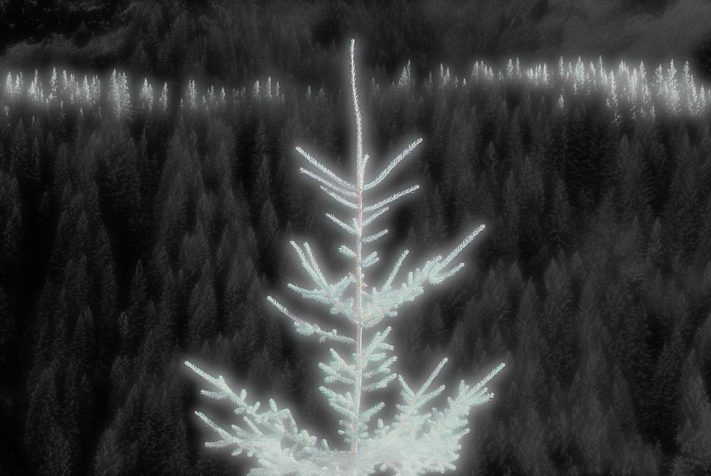 Fir tree, morning light, selectively colored black and white infared, Mount Rainier National Park, Washington, USA