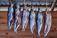 Russie, Siberie, Oblast d'Irkoutsk, vendeur de poisson Omoul endemique du lac Baikal // Russia, Siberia, Irkutsk, Omul fish from Baikal lake