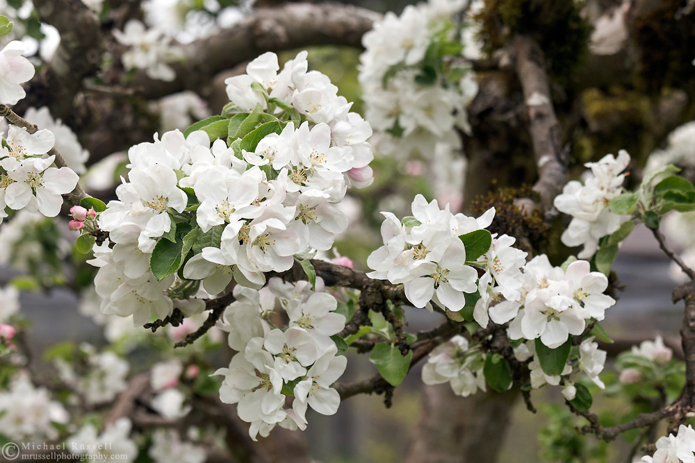 Blooms on a Yellow Transparent Apple tree  (Malus domesitca) in the Fraser Valley of British Columbia, Canada