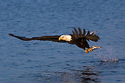 Bald Eagle, Haliaeetus leucocephalus, diving for fish, Kenai Peninsula, Homer Spit, Homer, Alaska. Digital original, #2006_1378 ©Robin Brandt
