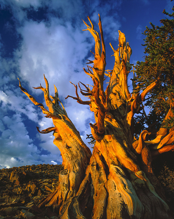 Morning light, Bristlecone Pine Protected Area, Inyo National Forest, Caifornia, USA
