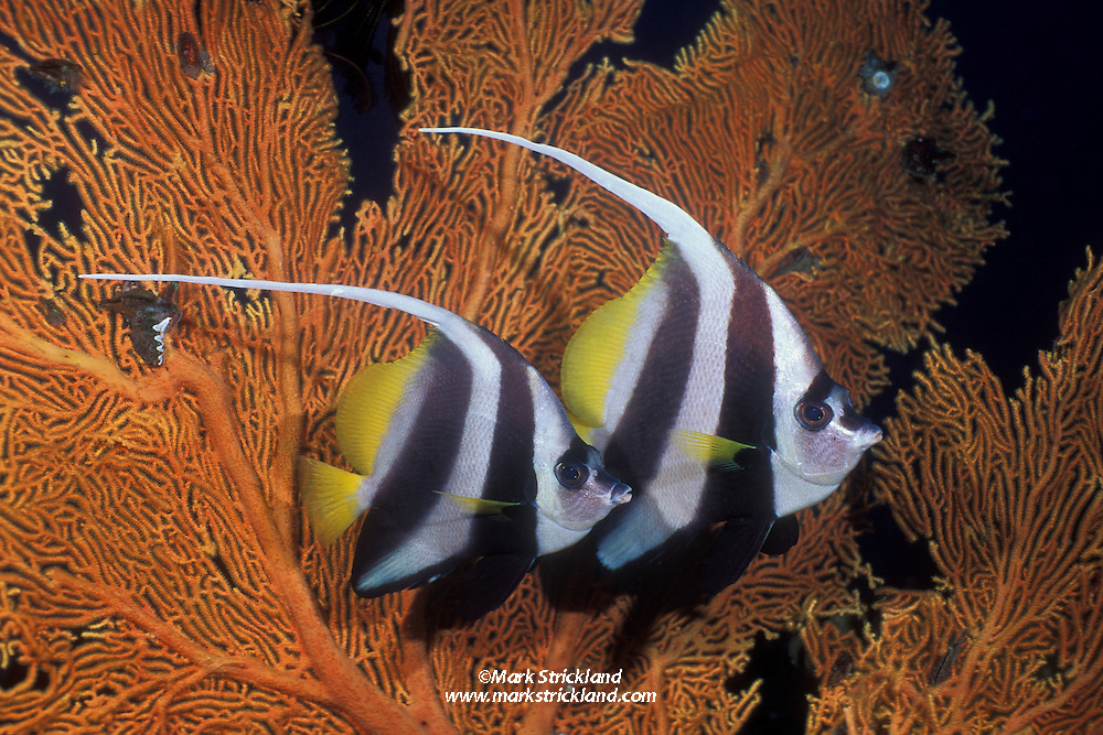 A pair of Longfin Bannerfish, Heniochus acuminatus, hover near a fan coral. Andaman Sea