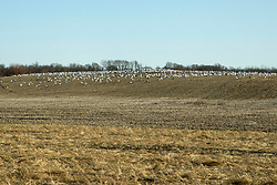 A large flock of birds, presumably snow geese, occupy the hillside of an unworked field in Illinois