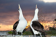 Laysan albatross, Phoebastria immutabilis, couple sky-pointing during courtship at sunset, Sand Island, Midway Atoll, Midway National Wildlife Refuge, Papahanaumokuakea National Monument, Northwest Hawaiian Islands, U.S.A. ( North Pacific Ocean )