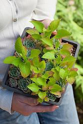 Accidental mix of echeveria and Patrinia scabiosifolia seedlings