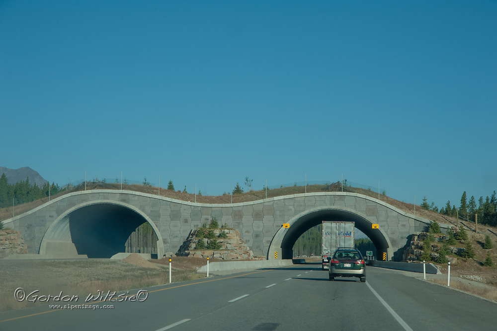 Traffic on the Trans Canada Highway passes below a wildlife overpass that enables animals to safely cross the road in Banff National Park, Alberta, Canada.