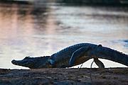 Aquidauana_MS, Brasil...Jacare proximo a um rio da fazenda Rio Negro no Pantanal...The alligator next to a river in the Rio Negro farm in Pantanal...Foto: JOAO MARCOS ROSA / NITRO