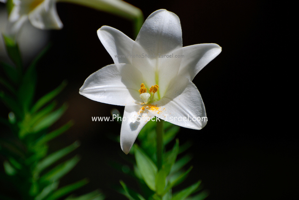 White Amaryllis originally from South Africa (South Western Cape).