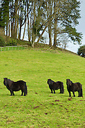 Exmoor ponies in the Doone Valley, Exmoor in North Devon, UK