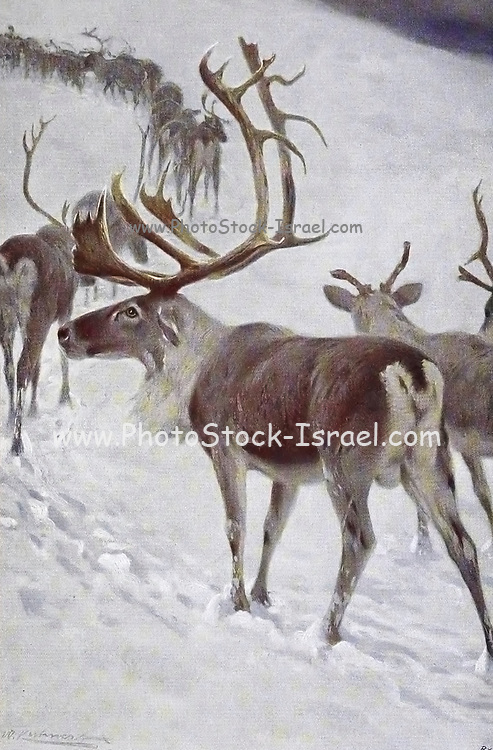 The reindeer (Rangifer tarandus), also known as caribou in North America, is a species of deer with circumpolar distribution, native to Arctic, sub-Arctic, tundra, boreal, and mountainous regions of northern Europe, Siberia, and North America. This includes both sedentary and migratory populations. Rangifer herd size varies greatly in different geographic regions. from the book '  Animal portraiture ' by Richard Lydekker, and illustrated by Wilhelm Kuhnert, Published in London by Frederick Warne & Co. in 1912