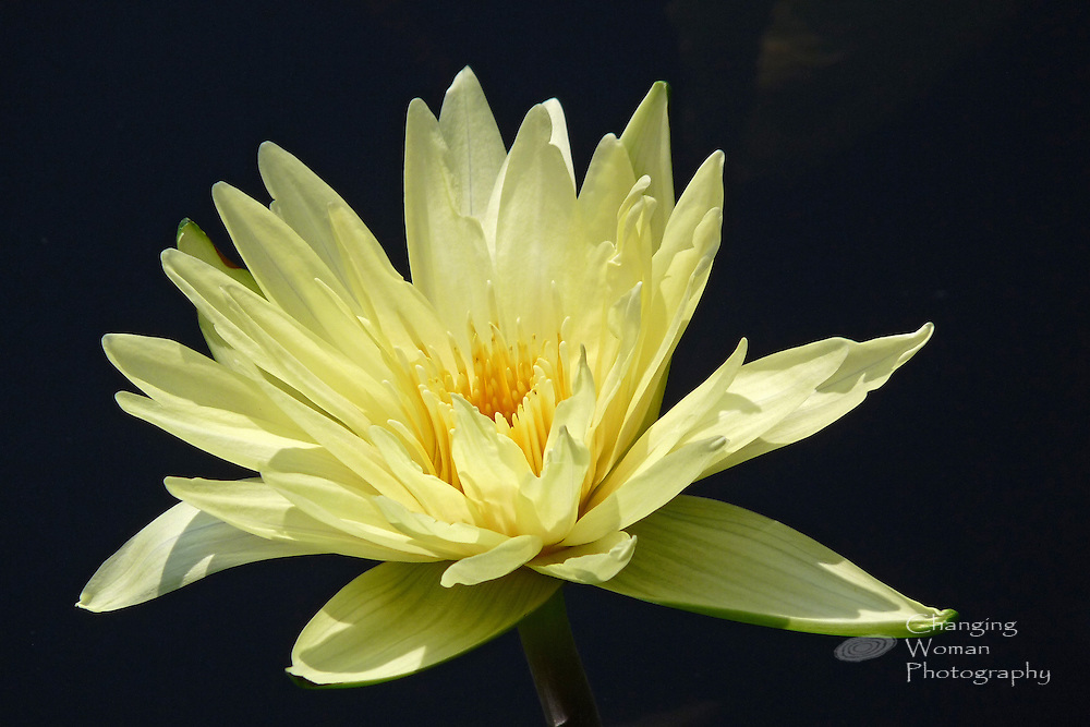 """Tropical day-blooming waterlily features the yellow petals and anthers characteristic of the """"Aviator Pring"""" cultivar found at Longwood Gardens, July 2010."""
