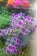 Gardening concept. Multi exposure of a flowering vertical urban garden main focus is on a bunch of purple petunia flowers
