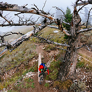 Andrew Whiteford descends the Parallel Trail on Teton Pass near Wilson, Wyoming. Dead tree traverse.