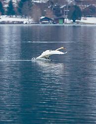 THEMENBILD - ein Höckerschwan landet im See, aufgenommen am 10. März 2018, Zell am See, Österreich // a mute swan lands in the lake on 2018/03/10, Zell am See, Austria. EXPA Pictures © 2018, PhotoCredit: EXPA/ Stefanie Oberhauser